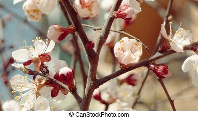 Branches of blossoming apple tree with white flowers and half-open buds
