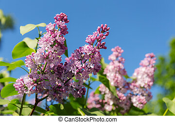 lilac on a sunny spring day