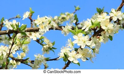 Branches of blossoming plum tree. White flowers