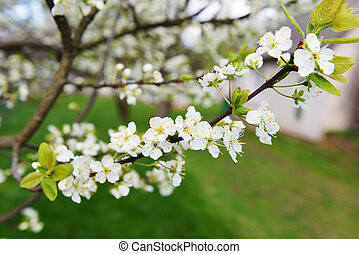 branches of blossoming tree