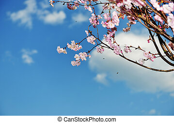 branches of  blossoming tree peach on blue sky background