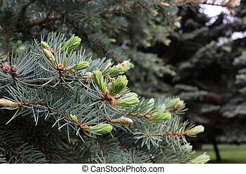 branches of blue spruce