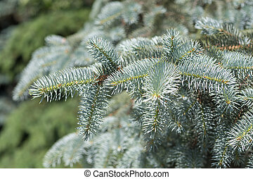 blue spruce closeup in summer