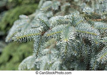 blue spruce closeup in summer