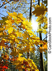 Branches of bright autumn trees and sunlight