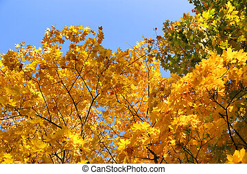 Branches of bright yellow autumn maple