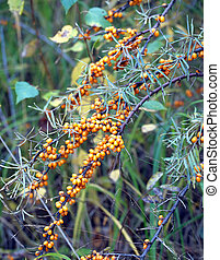 Branches of buckthorn with berries
