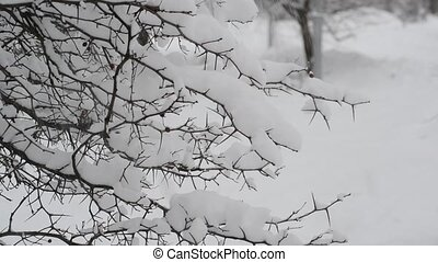 branches of bush covered with snow