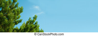 branches of cedar against the blue sky