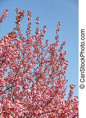 Branches of cherry blossoms. Beautiful Sakura in the garden