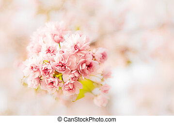 Branches of cherry blossoms close-up.