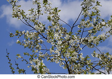 Branches of cherry blossoms. Flowering of fruit tree.