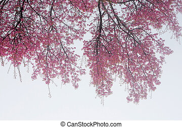 Branches of cherry blossoms