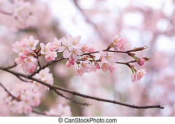 branches of cherry blossoms. Spring natural background