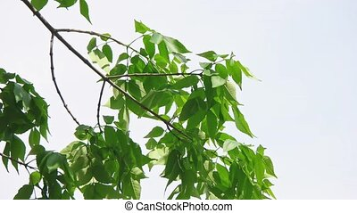 Branches of chestnut moving against sky - Branches of...