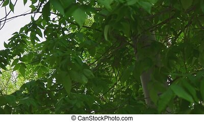 Branches of chestnut moving slowly slomo - Branches of...