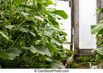 Branches of cucumbers in the greenhouse on a spring day