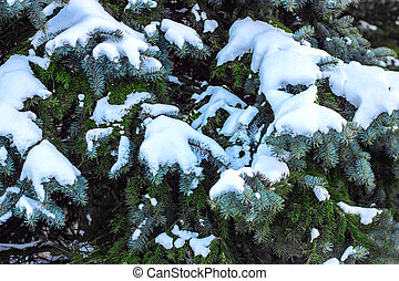 Branches of fir tree under snow, texture or background