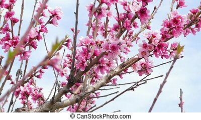 Branches of flowering fruit tree. - Branches of a blossoming...