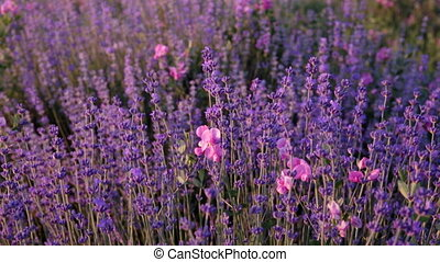 Branches of flowering lavender. - Branches of flowering...