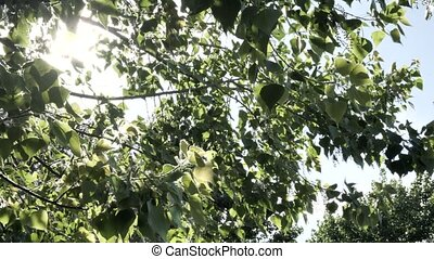 Branches of flowering poplar with down swinging in the wind in front of a bright sky