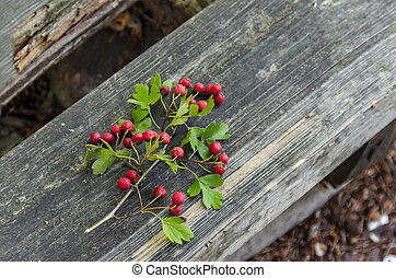 Branches of Hawthorn or Crataegus berries and leaves