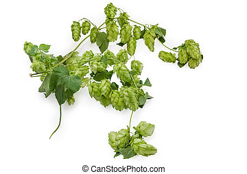 Branches of hops with leaves and cones on white background