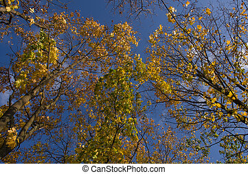 Branches of large trees with yellow autumn leaves on a blue sky background