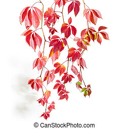 Branches of maiden grapes with autumn leaves on white background