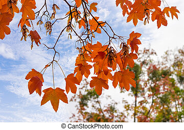 Branches of maple with autumn leaves on background of sky
