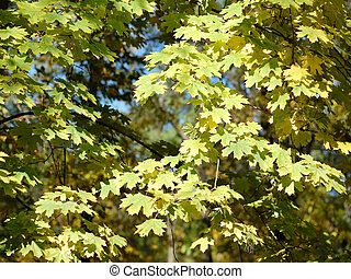 Branches of maple with autumn leaves
