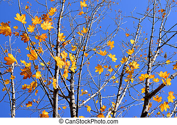 Branches of maple with autumn yellow leaves on blue sky background