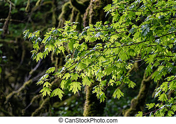 Branches of maple with green leaves