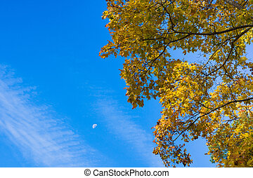 Branches of maple with yellowed leaves against the blue sky with clouds and the moon. Autumn forest scene