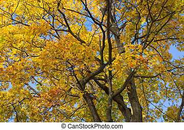 Branches of maple with yellowed leaves. Autumn forest scene