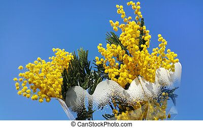 Branches of mimosa flower on bright blue background