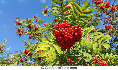 Branches of mountain ash or rowan with bright red berries