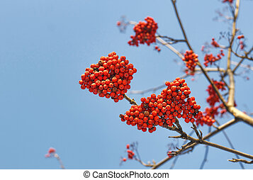 Branches of mountain ash (rowan) with bright red berries