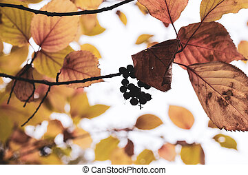 Branches of mountain ash with berries and leaves