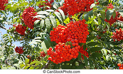Branches of mountain ash with berries