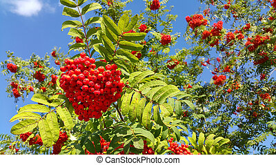 Branches of mountain ash with bright berries on blue sky