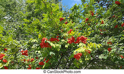 Branches of mountain ash with bright orange berries