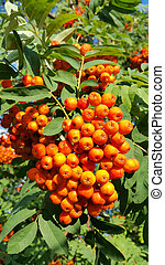 Branches of mountain ash with bright orange fruits