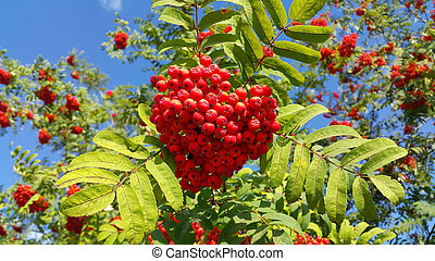 Branches of mountain ash with bright red berries