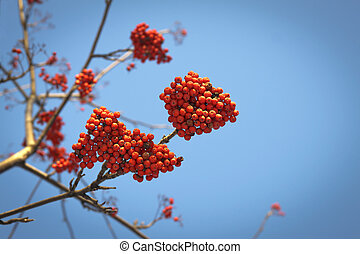 Branches of mountain ash with red berries against the blue sky