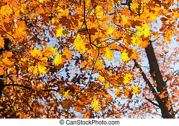Branches of oak with autumn leaves against the sky