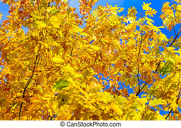 Branches of Oak with Yellow Leaves in Autumn