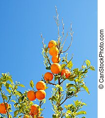 Branches of orange