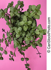Branches of orange mint on a pink background