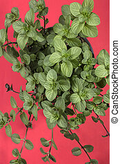 Branches of orange mint on a red background